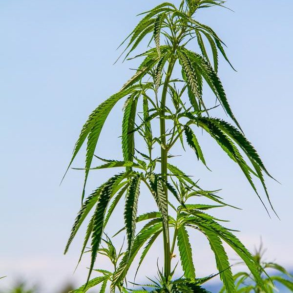 Z jakimi akcesoriami najlepiej uprawiać marihuanę przemysłową?